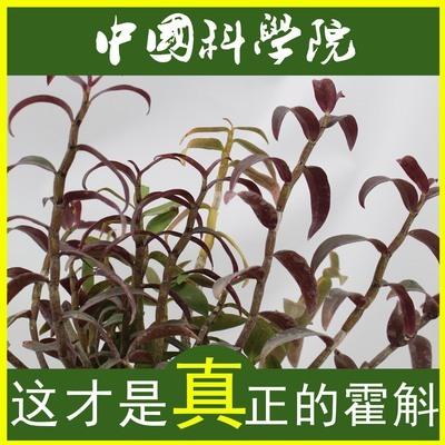 铁皮石斛食用方法 铁皮石斛种苗价格