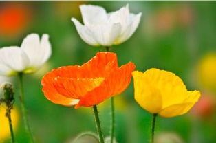 虞美人播种时间 关于虞美人的播种繁殖及肥水管理