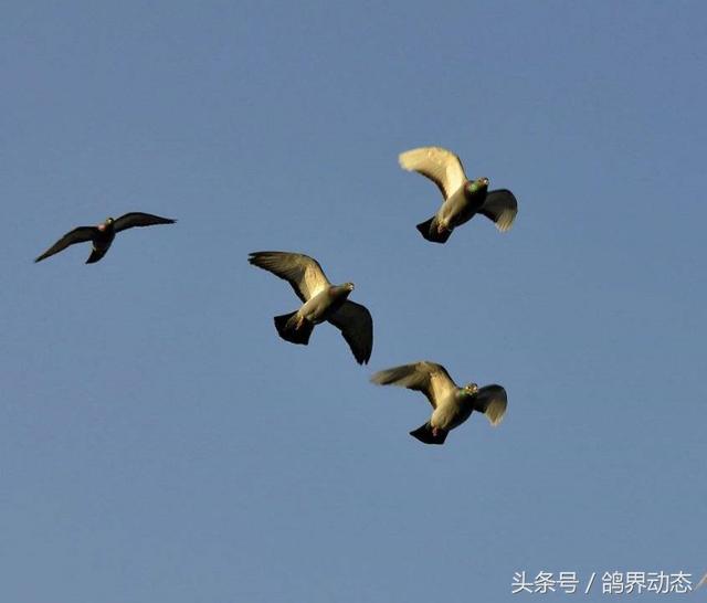 信鸽的归巢性能研究,赛鸽是如何越过盲区到达归巢地点的?